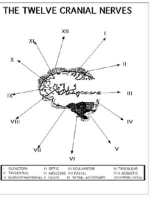 Drawing shows the 12 cranial nervs emanating fromt